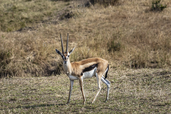 A cautious Thompson's Gazelle stands in the grass in the Serengeti National Park in Tanzania
