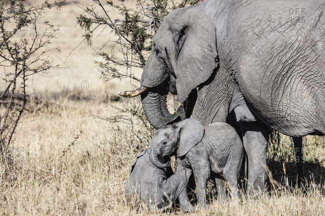 Elephants walking in the grass in the Serengeti National Park in Tanzania