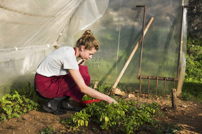 Young woman picking basil for the kitchen, Tuscany, Italy