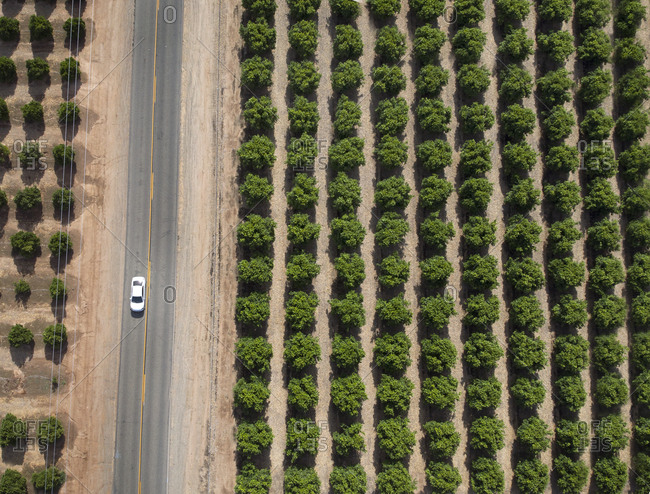 Aerial view of a car on a two-lane highway through an orange grove in central California
