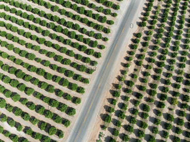 Aerial view of a roadway through an orange grove in central California