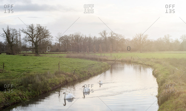 Swans floating in the water of a calm creek through farmland
