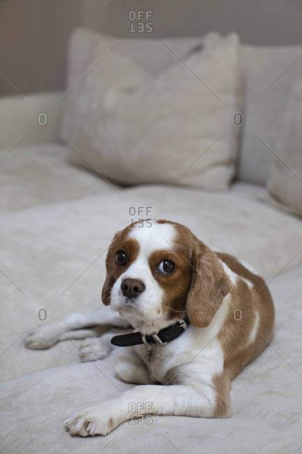 Portrait of a Blenheim Cavalier King Charles Spaniel puppy sitting on the sofa