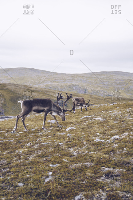 Two reindeers grazing at the North Cape- Norway