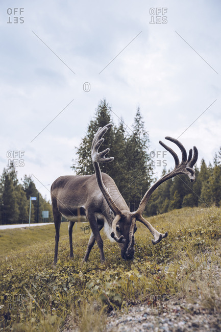 Reindeer grazing on a meadow- Finland