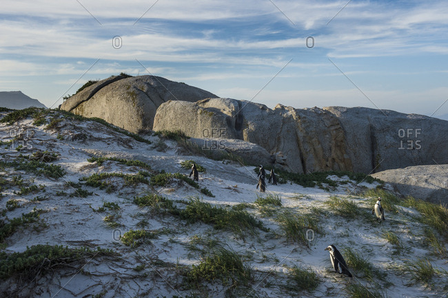South Africa- Cape of good hope- Boulders beach- jackass penguins colony- Spheniscus demersus
