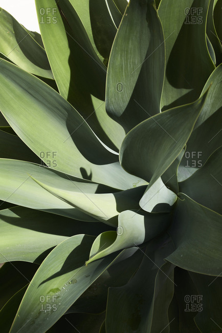 Close up details of green sharp plant leaves.