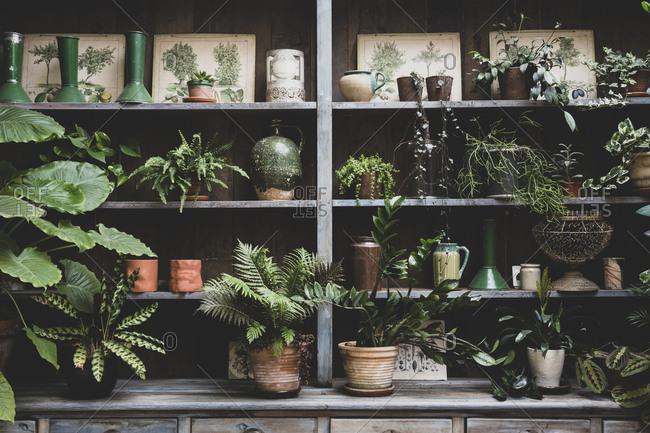 Selection of indoor plants in terracotta pots on wooden shelves.