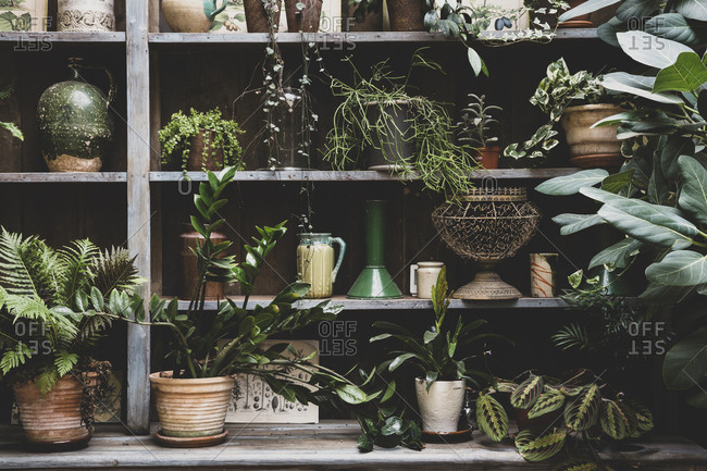 Selection of indoor plants in terracotta pots on wooden shelves.