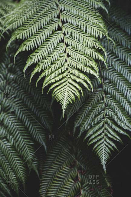 High angle close up of fern leaves.