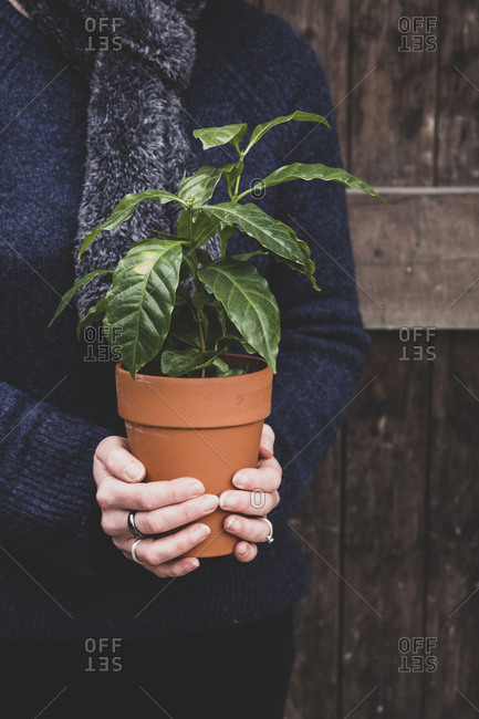 Close up of person holding small coffee plant in terracotta flower pot.