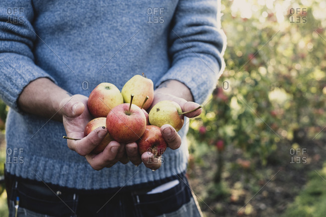 Close up of man standing in apple orchard, holding freshly picked apples. Apple harvest in autumn.