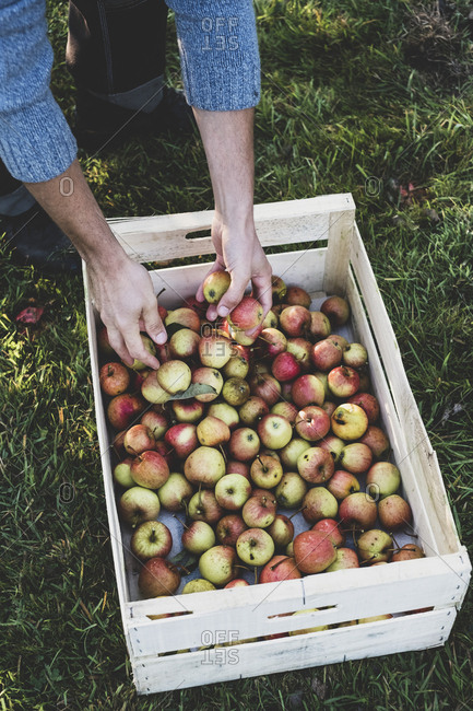 High angle close up of red and green apples in crate. Apple harvest in autumn.