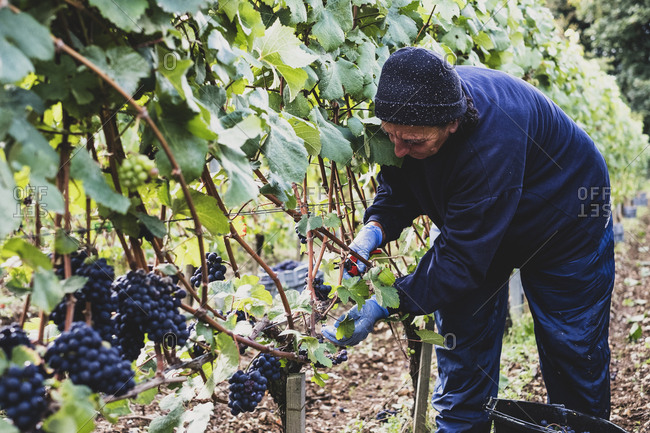 Woman bending over, with gloves and secateurs, in a vineyard harvesting bunches of black grapes.