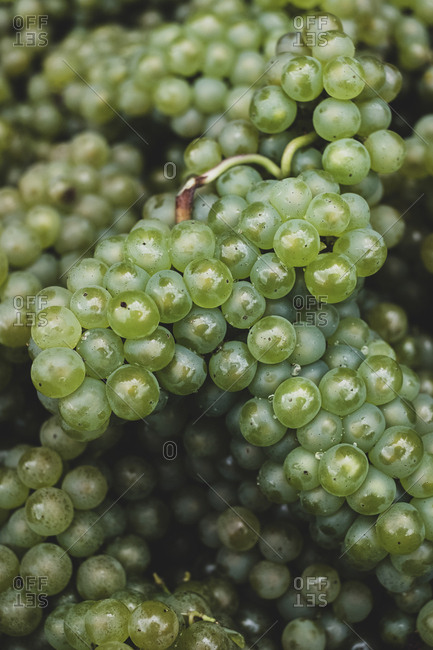 High angle close up of freshly picked bunches of green grapes at a vineyard.