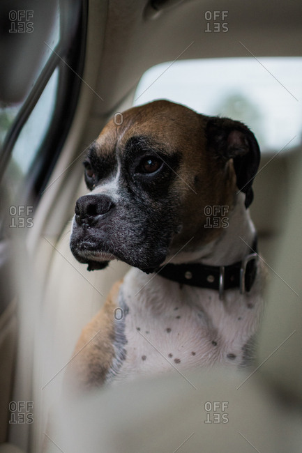 Boxer dog in back seat of car