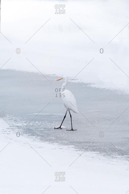 Heron walking on frozen lake