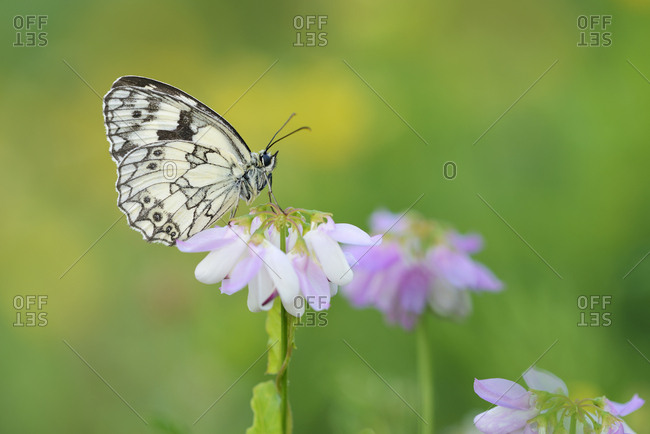 Marbled White sitting on Crown Vetch- Bavaria- Germany