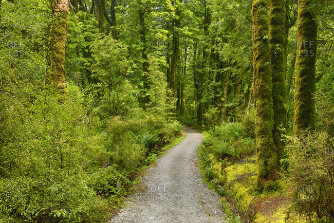 Footpath through rainforest. The Blue Pools walking track on the Haast Highway- South Island- New Zealand