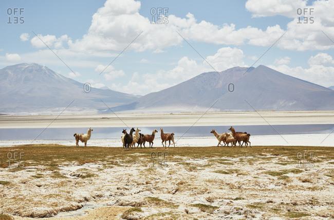 Chile- Salar del Carmen- alpacas at salt lake shore in front of Andes