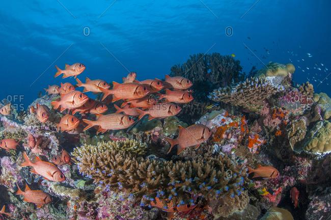 Palau- squirrel fishes- Ostichthys trachypoma