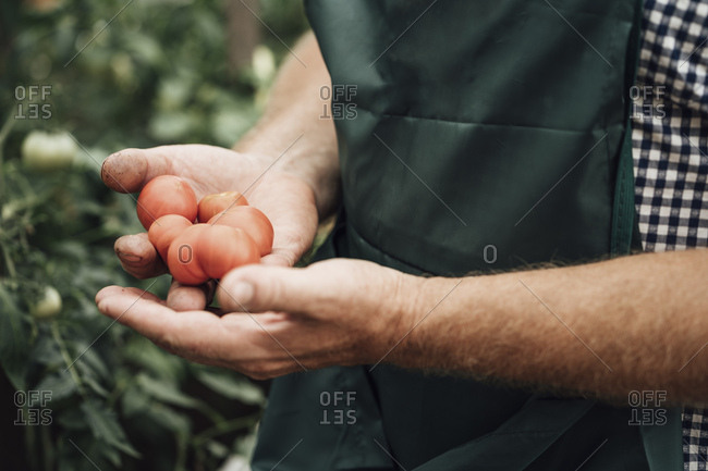 Gardener in greenhouse- hand holding tomatoes