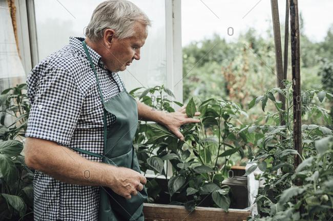 Mature man- gardener in greenhouse