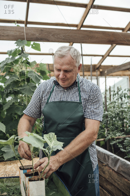 Mature man- gardener in greenhouse- looking at plants