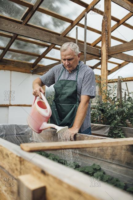 Mature man- gardener in greenhouse watering plants