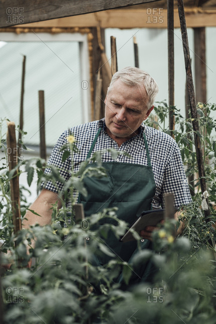 Gardener in greenhouse looking at tomato plants