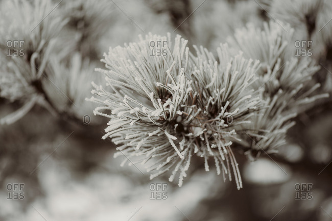 Close-up of a frosty branch of a pine tree