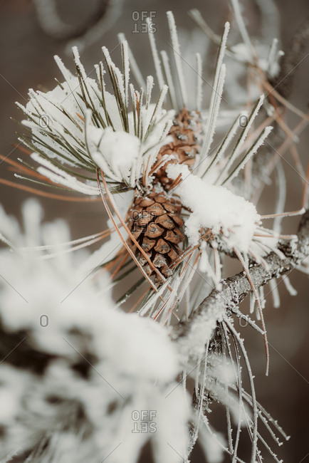 Close-up of a snow-covered tree branch with pine cones