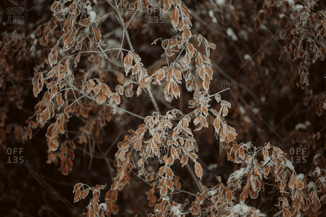 Tree with frosty leaves in a woodland
