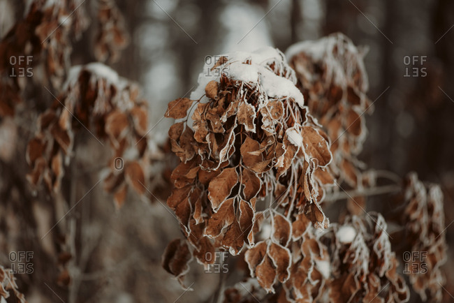 Tree branch with dried brown leaves covered in snow