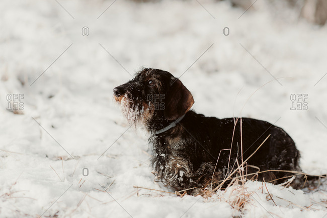 Dog with icy fur standing in deep snow on a winter day