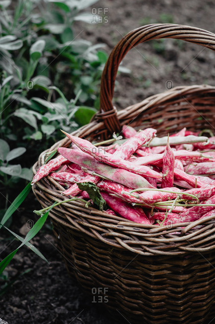 Borlotti beans in the field