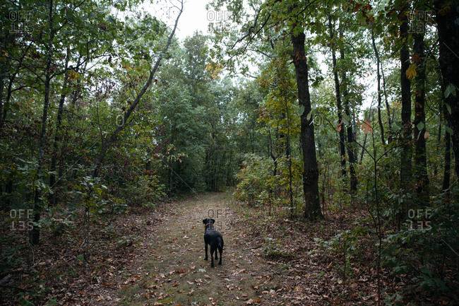 A black Labrador stands on a path in the forest