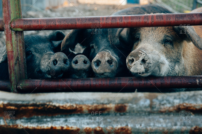Four pigs with snouts out of gate