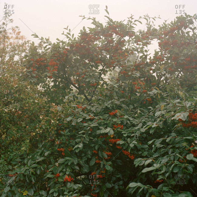 Bush of red berries on a misty overcast morning