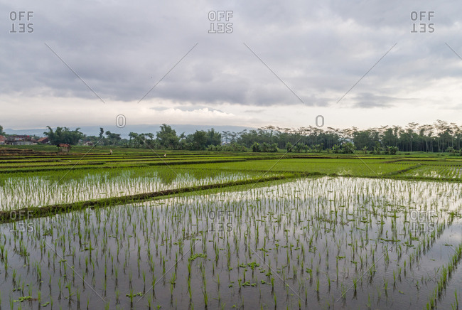 Aerial view of paddy field growing semiaquatic rice, Malang, Indonesia.