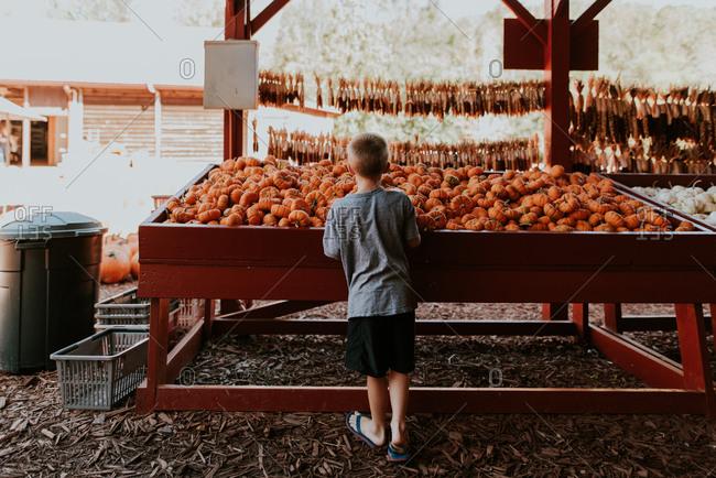 Boy looking at small pumpkins
