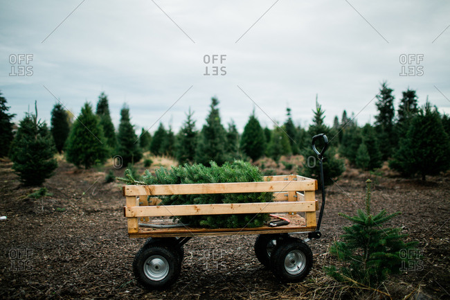 Wagon with a Christmas tree on a tree farm