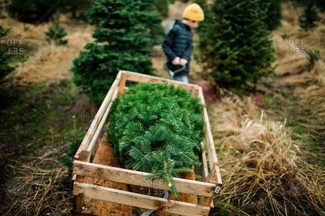 Little boy pulling wagon with Christmas tree on a tree farm