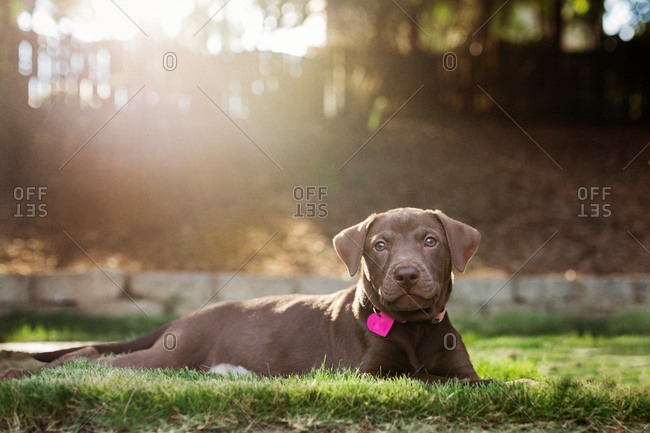Brown puppy laying in grass