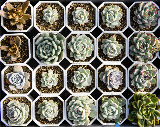 Various colorful succulent plants in flower pot to sell