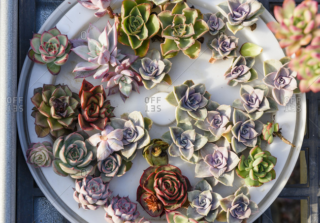 Various colorful succulent plant cut for replanting