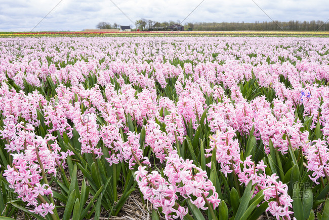 Closeup of broad blooming pink hyacinth on flower farm