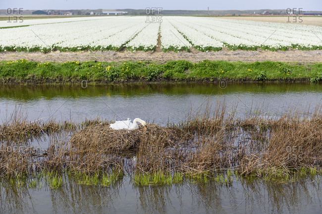 Swan nests in a river in front of blossom tulip flower field