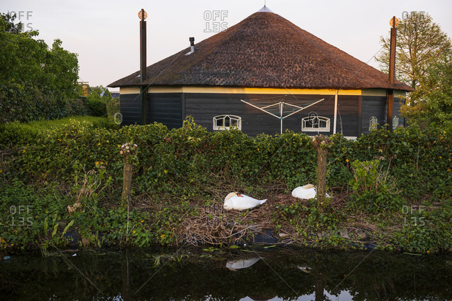 Swan couple sleeping in front of lovely house under the sunset