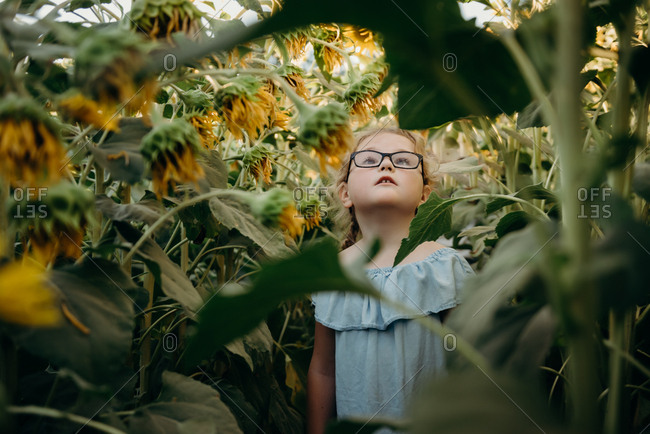 Little girl with glasses looking up at tall sunflowers